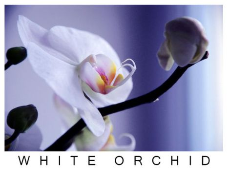 White Orchid by katioushka