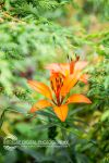 Forest Lillies by JessicaDobbs