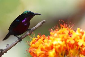 Purple throated Sunbird 01 by garion