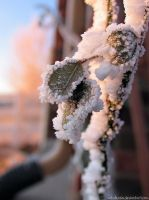 frosty leaves by sataikasia