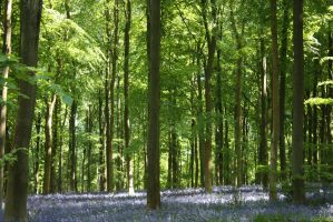 Bluebell Wood 4 by Topaz172