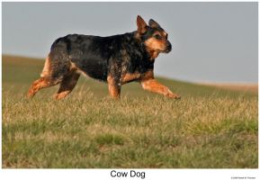 Cow Dog by hunter1828