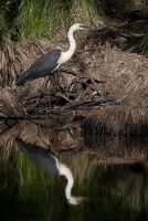 White-Necked Heron by Chezza932