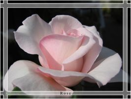 Rose by benilo