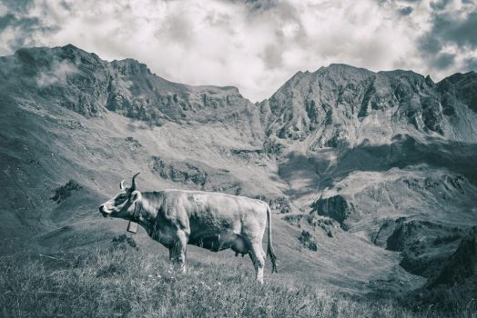 Cow in the mountains by Mintmount