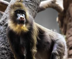 Female Mandrill I by OrangeRoom