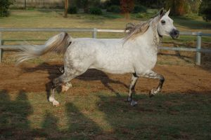 JA Arab Lightdapple trot side view head to the sdi by Chunga-Stock