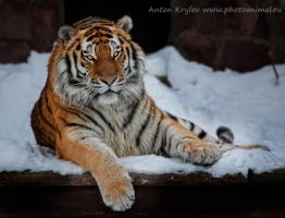 Portrait of tiger by Jagu77