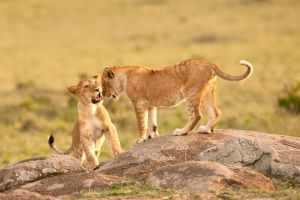 African Lion 87 by catman-suha