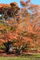 Mrs A Standng In The Japanese Maple Grove At Kew by aegiandyad