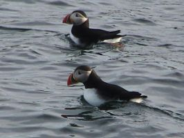 Handsome Clowns- Atlantic Puffins by AcinaD