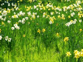 Daffodil Field by MunsenTheBiscuit69