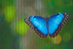 Morpho by SkylightPhtgrphy