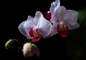 Macro Phalaenopsis Orchid by braxtonds
