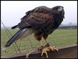 Harris Hawk 2 by cycoze