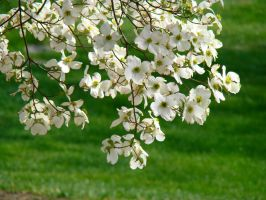 White Blooms by GramMoo
