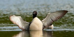 Common loon - Wings by JestePhotography