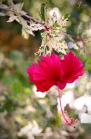 Hibiscus Two by lucanus43