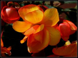 Begonia Orange by cycoze