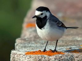 White Wagtail 02 by nordfold