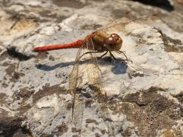 Dragonfly (2) by starykocur
