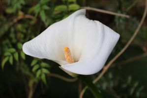 White Flower WIth Yellow Stamen by PixelatedMoments