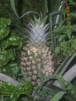 Pineapple In Costa Rica by SN2