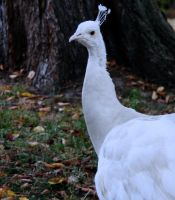 albino peacock by aerisek