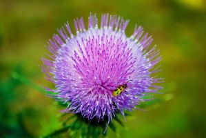 Thistle and Cucumber Spotted Beetle 3 by sioranth