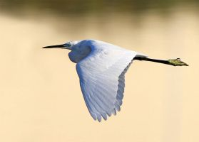 Golden Morning - Little Egret by Jamie-MacArthur