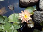 Water Lily by Purplefire40