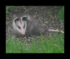 Baby Possum by swashbuckler