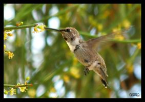 Black-chinned Hummingbird by ernieleo
