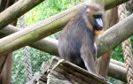 Mandrill by Becky125