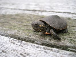 baby turtle by Love2B