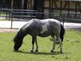 horse clt.: tobiano pony II by Germanstock
