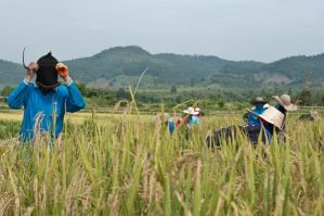Rice farmers - Green is not always Green. by SantiBilly