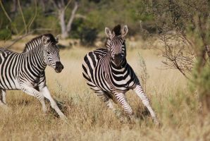zebras by 8ties-baby