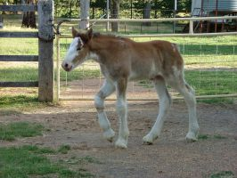 Clydesdale Foal 4 by How-You-Remind-Me