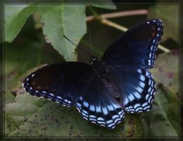 Red-spotted Purple 20D0030885 by Cristian-M