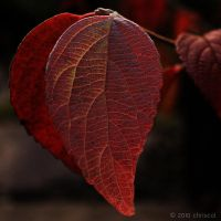 Red Leaf by chriscol