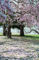Fairmount Park  Cherry Blossoms 36 by FairieGoodMother