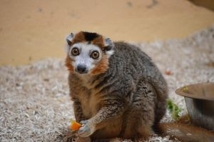 Crowned Lemur by N0XATI