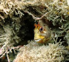Tompot blenny by ukwreckdiver