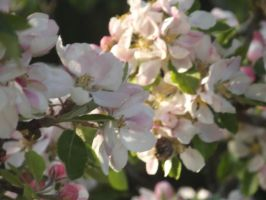 Apple Blossom 7 by YesIamEccentric