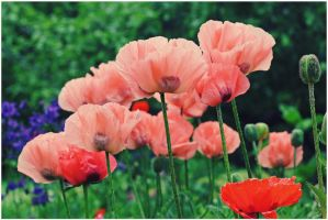peachy poppies by miss-gardener
