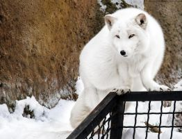 Arctic fox V by OrangeRoom