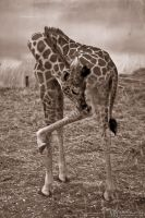 Young Rothschild giraffe by Yupa