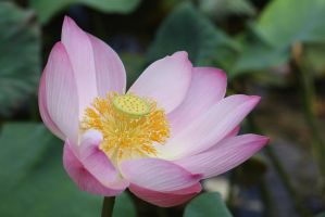 Lotus Flower 9584 by fa-stock