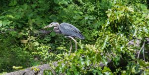 Great Blue Heron Stare Down by phbeks